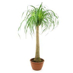 Beaucarnea, Plante verte d'intérieur