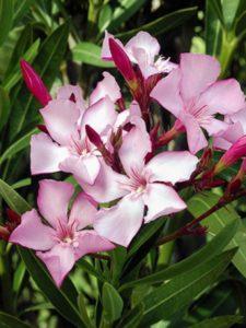 nerium-laurier-rose