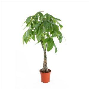 Pachira Aquatica - Plante verte d'intérieur