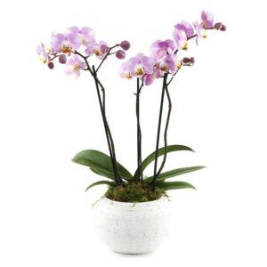 Phalaenopsis 3 tiges - Orchidée