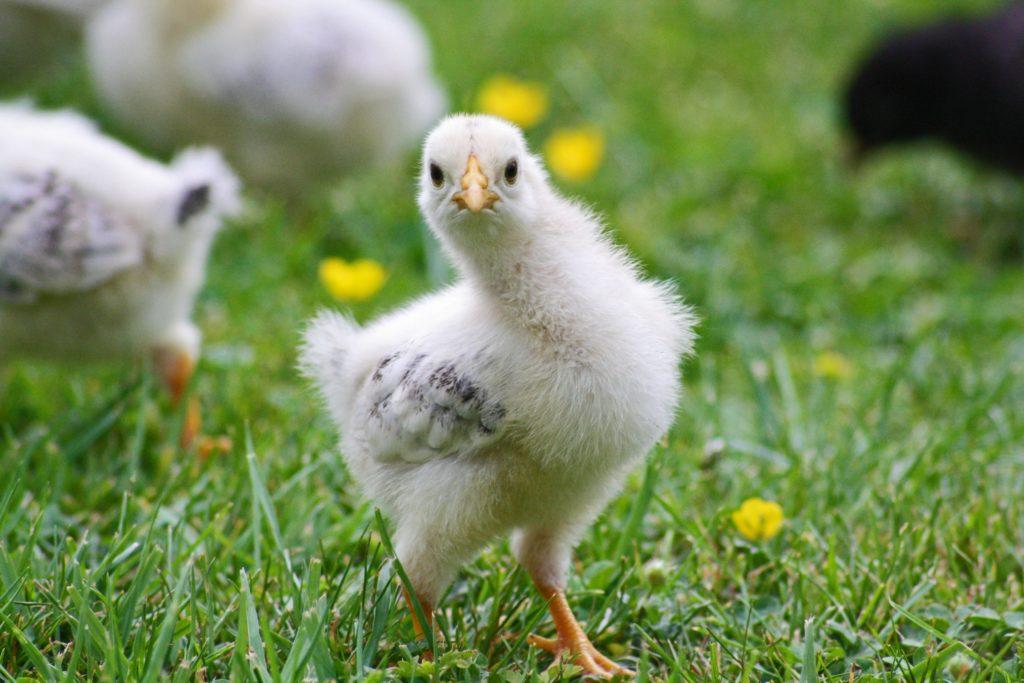 sam-le-jardinier-vente-poules-accessoires-aliments-animaux-ancenis